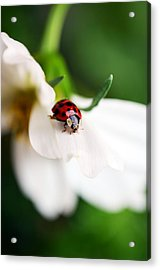 Sunshine And Petal Rest Acrylic Print by Lori Tambakis