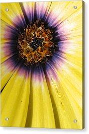 Sunshine Daisy Acrylic Print by Tracy Male