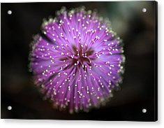 Acrylic Print featuring the photograph Sunshine Mimosa by Greg Allore