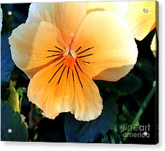 Sunshine Yellow Pansy Acrylic Print