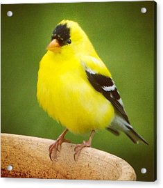 Super Fluffed Up Goldfinch Acrylic Print by Heidi Hermes