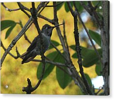 Super Hummingbird To The Rescue Acrylic Print