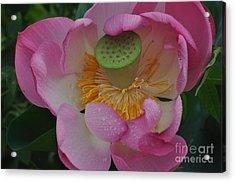 Supreme Lotus Acrylic Print