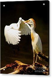 Suprised Cattle Egret Acrylic Print by Robert Frederick
