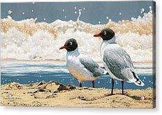 Surf 'n' Turf - Franklin's Gulls Acrylic Print