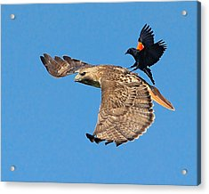 Acrylic Print featuring the photograph Surfer Bird  by William Jobes