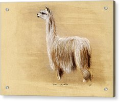 Suri Alpaca Acrylic Print by Sara Cuthbert