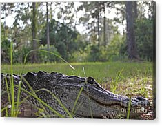 Surprise Alligator Houseguest Acrylic Print by Dodie Ulery