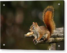 Surprised Red Squirrel With Nut Portrait Acrylic Print by Debbie Oppermann