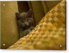 Surprised Kitten Acrylic Print by Matt Radcliffe