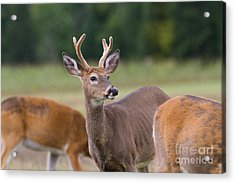 Surveying The Herd Acrylic Print by Kevin McCarthy