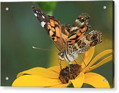 Susan Painted Lady Acrylic Print
