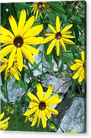 Acrylic Print featuring the photograph Susans by Joan Hartenstein
