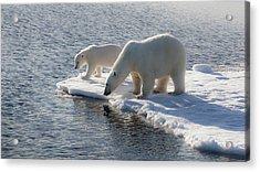 Svalbard Mother And Child Polar Bears Acrylic Print