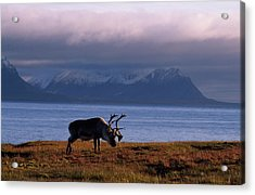 Svalbard Reindeer Grazing Near The Sea Acrylic Print
