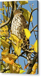 Swainson's Hawk At Lan Su Chinese Acrylic Print by William Sutton