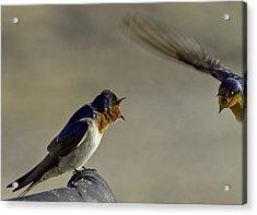 Swallow Fight Acrylic Print