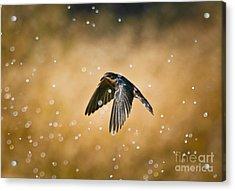 Swallow In Rain Acrylic Print by Robert Frederick