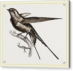 Swallow Of Palestine Acrylic Print by Litz Collection
