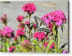 Swallow Tail Acrylic Print by Dave Woodbridge