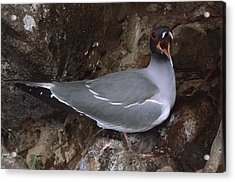 Swallow-tailed Gull And Chick Calling Acrylic Print by Tui De Roy