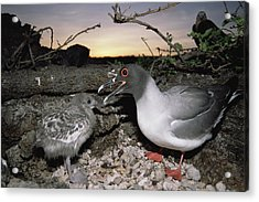 Swallow-tailed Gull And Chick In Pebble Acrylic Print by Tui De Roy