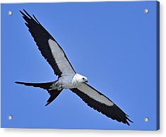 Swallow-tailed Kite Acrylic Print