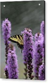 Swallowtail 0003 Acrylic Print