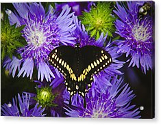 Swallowtail And Astor Acrylic Print by Debra Crank