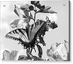 Swallowtail And Rose Of Sharon Bw Acrylic Print by Diannah Lynch