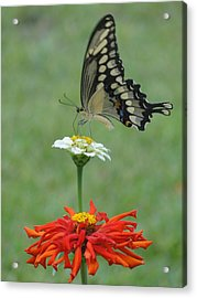 Swallowtail Butterfly And Zinnias Acrylic Print by Cindy Croal