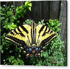 Swallowtail Butterfly Feeding Acrylic Print