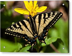 Swallowtail Butterfly Acrylic Print by Jack Bell
