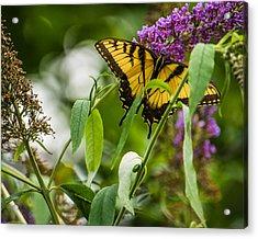 Swallowtail Butterfly Acrylic Print by Jon Woodhams