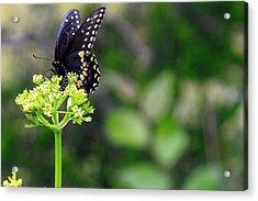 Swallowtail Butterfly Acrylic Print by Lorri Crossno