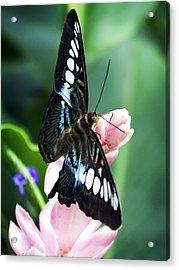 Swallowtail Butterfly Acrylic Print by Marilyn Hunt