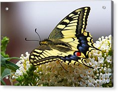 Swallowtail Butterfly Acrylic Print by Nick  Biemans