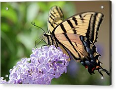 Swallowtail Butterfly On Lilac Acrylic Print