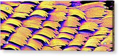 Swallowtail Butterfly Wing Scales Acrylic Print by Susumu Nishinaga