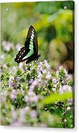 Swallowtail Butterflygraphium Sarpedon Acrylic Print by Myu-myu