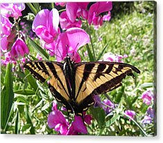Acrylic Print featuring the photograph Swallowtail by Cheryl Hoyle