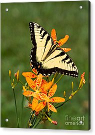Swallowtail Delight Acrylic Print by Dale Nelson