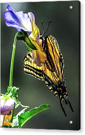 Swallowtail Hang Acrylic Print