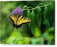 Swallowtail II Acrylic Print by Jon Woodhams