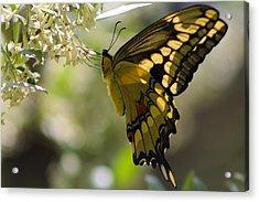 Swallowtail II Acrylic Print