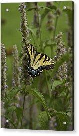 Swallowtail In Flower Field Acrylic Print