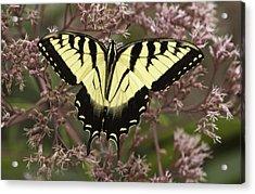 Swallowtail In Pink Acrylic Print