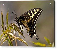 Swallowtail In Profile Acrylic Print