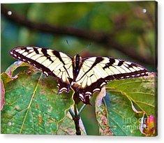 Swallowtail Acrylic Print by Judy Via-Wolff