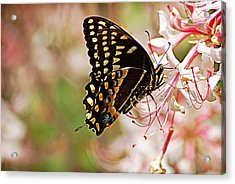 Swallowtail Acrylic Print by Linda Brown